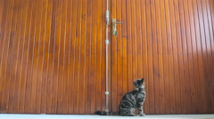 Kitten looking at hook under big wooden doors 4K Stock Footage