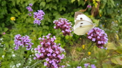 4k Cabbage white butterfly on flower very close up Stock Footage