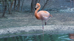 Flamingo cleans feathers and drink, standing on one leg in water - stock footage