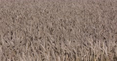 Wheat field - close up Stock Footage