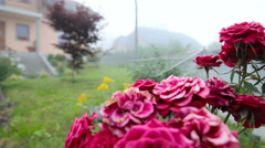 Red rose with spider web closeup zoom-in 4K Stock Footage