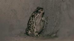 European green toad Stock Footage