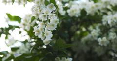 beautiful jasmine white flowers in summer day pan - stock footage
