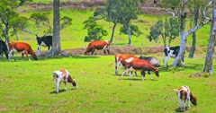 Farm animals of New Zealand background. Cows grazing on green grass pasture - stock footage