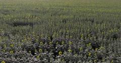 Flight over sun flower field Stock Footage
