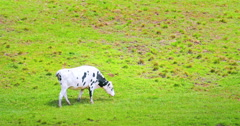 Cow grazing on green grass summer pasture in rural countryside at sunny day Stock Footage
