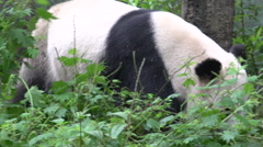 Panda walking towards his bamboo food Stock Footage