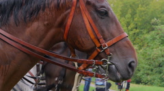 Closeup of a horse head in harness. Stock Footage