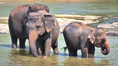 Baby elephant with family in national park of Sri Lanka. Wild animals safari - stock footage
