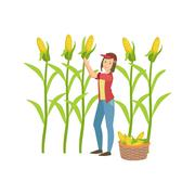 Woman Collecting Ripe Corn Stock Illustration