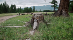 Sheeps under the tree in autumn landscape in the Romanian Carpathians Stock Footage