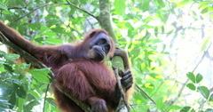 Wild orangutan monkey on tree in protected rain forest in Sumatra Indonesia Stock Footage