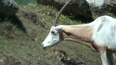Scimitar Oryx Eating Grass, Slow Motion Stock Footage