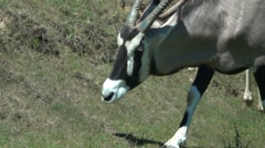 Gemsbuck Eating Grass Stock Footage