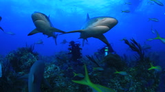 Twin Caribbean Reef Sharks in the Bahamas - stock footage