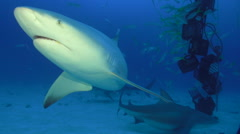 Bull Shark turns by camera Stock Footage