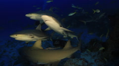 Caribbean Reef Sharks gather by bait in the Bahamas at twilight. Stock Footage