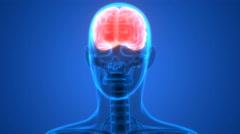 Human Brain Anatomy Stock Footage
