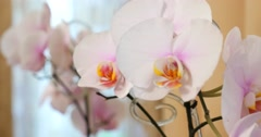 Close-up of white orchids on light background Stock Footage
