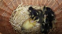 Newborn ducklings in a basket Stock Footage