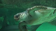 Sea Turtle Swimming In Aquarium Stock Footage