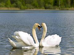 Swans on the Lake Stock Photos