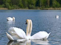 Swans on the Lake Stock Photos