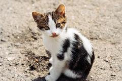 Small street tricolor kitten looking with interest at the camera after a deli Stock Photos