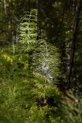 Horsetails with water in the background Stock Photos