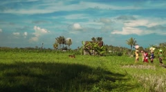 Small balinese family procession with offerings between rice fields Stock Footage