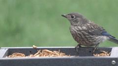 Juvenile Eastern Bluebird Stock Footage