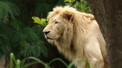 Close up of adult male lion looking around. Stock Footage