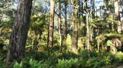 Australia Yarra Ranges gum forest trees Stock Footage