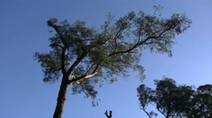Australia Yarra Ranges twisted gum and blue sky - stock footage