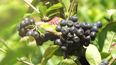 Aronia berry fruitful branch Stock Footage