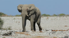 African elephant walking, African wildlife safari, Etosha National Park, Namibia Stock Footage