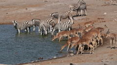 Zebras and impala at waterhole, African safari, Etosha National Park, Namibia Stock Footage