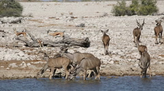 Kudu antelopes drinking water, African safari, Etosha National Park, Namibia Stock Footage