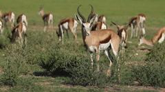 Springbok antelopes, African safari, Kgalagadi Transfrontier Park, South Africa Stock Footage