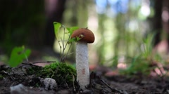 Successful mushroom hunting in wild forest Stock Footage
