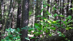 Sunny and shady forest pan Stock Footage