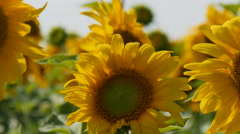 Sunflowers swaying in the light breeze on a sunny day - stock footage