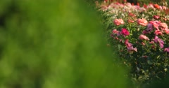 Pink rose bush on a background of green shrubs Stock Footage