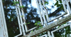 Leaves climbing on a metal gate Stock Footage