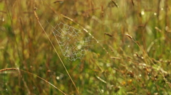The spider web at dawn in the morning dew. Close-up Stock Footage