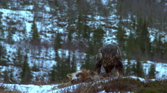 Golden Eagle on prey - stock footage
