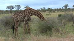 Giraffe (Giraffa camelopardalis giraffa ) eating from top of bushes Stock Footage