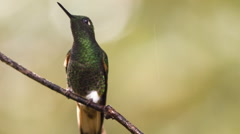 Buff-tailed coronet (Boissonneaua flavescens) hummingbird Stock Footage