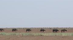 Buffalo walking in line Stock Footage