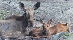 Moose family lies in the shadows Stock Footage